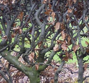 picture of beech hedge